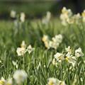 写真: 水仙は、咲いています~♪