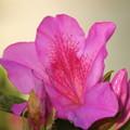 Photos: オオムラサキが咲いた