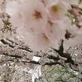 Photos: 咲き誇る