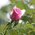 写真: 薔薇が咲きそう