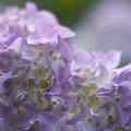 写真: パープル紫陽花