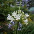 写真: 白いアガパン