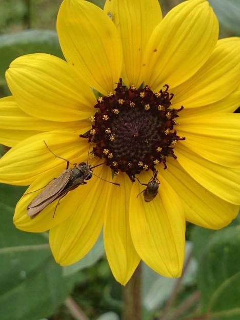 ミニ向日葵系にセセリン カブトムシ顔のハムシ