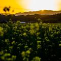 菜の花畑の夕日-01484
