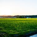 菜の花畑の夕日-01490