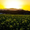 菜の花畑の夕日-01488