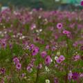 写真: 避難区域に咲くコスモス初秋