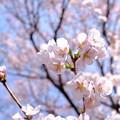 3月の桜_2