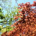 写真: 季節外れの紅葉