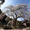 Photos: 清雲寺枝垂れ桜