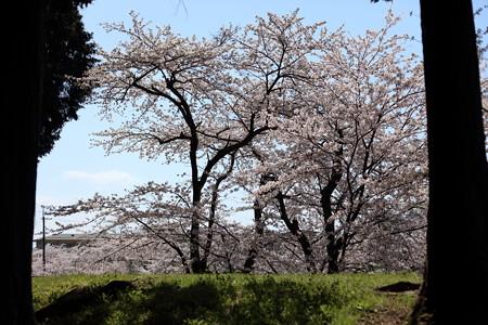 彦根城桜5Ds10