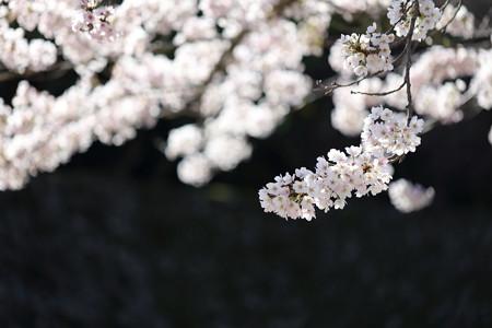 彦根城桜5Ds14