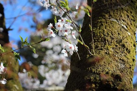 彦根城桜5Ds15