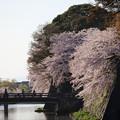 彦根城桜5Ds20