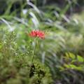 いっぽん咲き