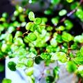 写真: 葉水