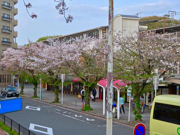 だいぶ散っていた、鶴舞公園駅前の桜(2017年4月16日) - 2