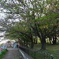 写真: ほとんど散ってた、朝宮公園の八田川沿いのソメイヨシノ(2017年4月21日) - 1