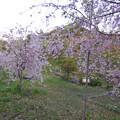 多治見市営球場隣りの太陽公園 - 4:満開だった枝垂れ桜?