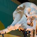 Photos: 東山動植物園 動物開館:アフリカ象の骨格標本 - 3