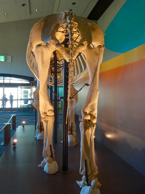 東山動植物園 動物開館:アフリカ象の骨格標本 - 6