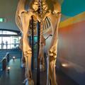 Photos: 東山動植物園 動物開館:アフリカ象の骨格標本 - 6