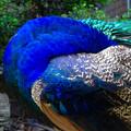 Photos: 東山動植物園バードホール:若かったからかまだ羽があまり生えそろってなかったインドクジャク(オス) - 7