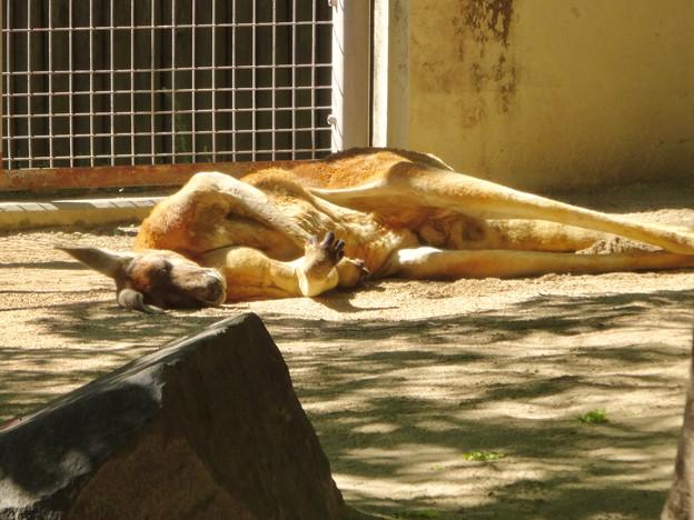 東山動植物園:野生をすっかり忘れた様に眠るアカカンガルー - 1