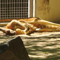 写真: 東山動植物園:野生をすっかり忘れた様に眠るアカカンガルー - 1
