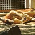写真: 東山動植物園:野生をすっかり忘れた様に眠るアカカンガルー - 2
