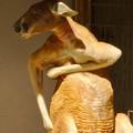 Photos: 東山動植物園:おっさんの様に脇をかいてたアカカンガルー - 2