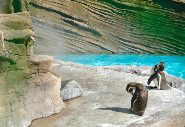 東山動植物園:ミストシャワーを浴びていた(?)フンボルトペンギン - 2