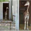 東山動植物園:獣舎の中から外を窺う子供のアミメキリン - 4