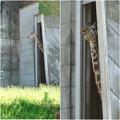 東山動植物園:獣舎の中から外を窺っていたアミメキリン - 4