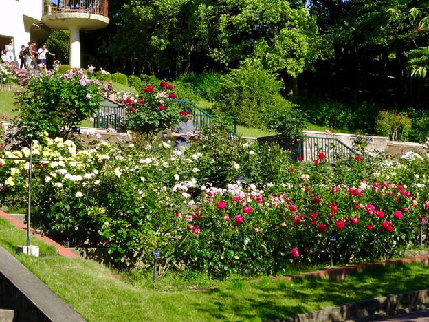 Photos: 東山動植物園:満開だったバラ園のバラ - 2