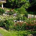 東山動植物園:満開だったバラ園のバラ - 2