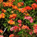 東山動植物園:満開だったバラ園のバラ - 4