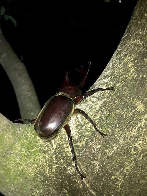 深夜出会った立派なカブトムシ - 2