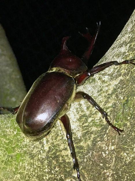 深夜出会った立派なカブトムシ - 3