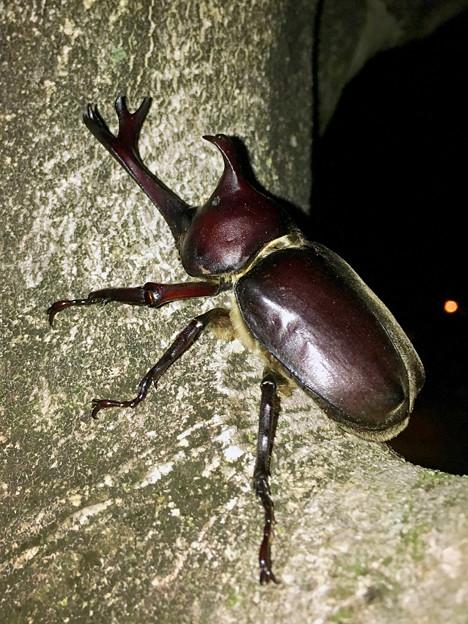 深夜出会った立派なカブトムシ - 7