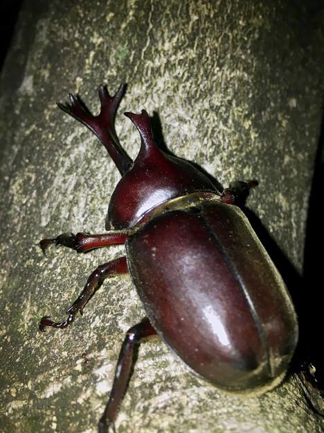 深夜出会った立派なカブトムシ - 8