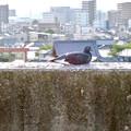 イオン小牧店屋上駐車場から見た景色 - 13:塀の上で日向ぼっこしてる(?)鳩