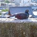イオン小牧店屋上駐車場から見た景色 - 14:塀の上で日向ぼっこしてる(?)鳩