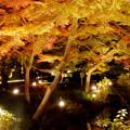 東山動植物園の紅葉ライトアップ 2017 No - 48