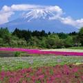 2017富士芝桜まつり