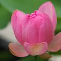 写真: もうすぐ咲きます。