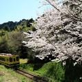 写真: ムーミン列車と桜 001