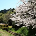 Photos: ムーミン列車と桜 001