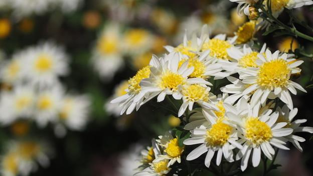 hiro 君のための秋の小菊