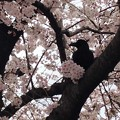 写真: 櫻花中的烏鴉